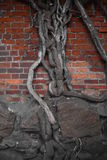 Wall With a Tree. Gothic castle wall of Malbork castle in Northern Poland with old grown-in tree Royalty Free Stock Images
