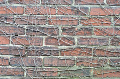 Wall tree root Royalty Free Stock Photography