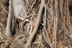 Wall of tree root. Stock Image