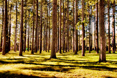 Wall of Trees royalty free stock photography