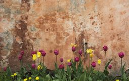 Wall and tulips royalty free stock photography