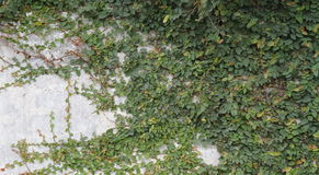 Wall vine. Clinging wall vine decorating concrete fence Royalty Free Stock Photo