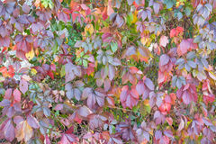 Wall of vine leaves Stock Photos