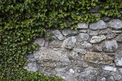 Wall and Vine. A weathered wall with branches and vine growing on it royalty free stock image