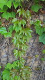 Wall  vines. Green ivy and vines growing on the wall Royalty Free Stock Photo
