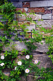 Wall with vines. Stone wall with rose branch Stock Photography