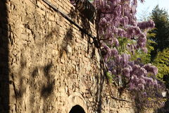 The wall, which blooms and smells, Florence, Italy Royalty Free Stock Photos
