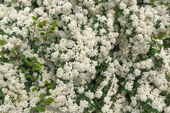 Wall from white flowers. The ornamental shrub of Spirei Vangutta plentifully blossoms in the spring Stock Photography