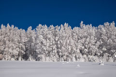 Wall of white trees covered with hoarfrost Royalty Free Stock Image
