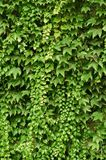 Wall of wild grape leafs Royalty Free Stock Images