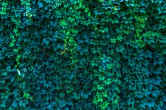 Wall of wild grapes background for blog site or photo royalty free stock image