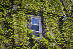 Wall with window covered with green ivy Stock Image