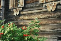 Wall window rosehip rural wood Royalty Free Stock Images