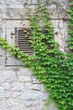 Wall and window with shutters overgrown with wild grapes Royalty Free Stock Photo