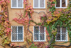 Wall window tree. Tree in autumn on wall and window stock photos