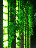 Wall and windows nightclub with vines. Modern nightclub of the brick, decorated with vines and green leaves of wild grapes royalty free stock photos