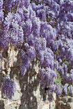Wall of wisteria Royalty Free Stock Photos