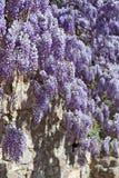 Wall of wisteria Royalty Free Stock Photos