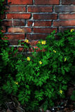 The wall. With the yellow flowers Royalty Free Stock Images