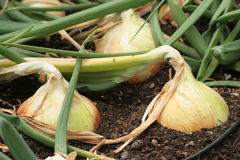 Walla Walla Sweet Onions Royalty Free Stock Image