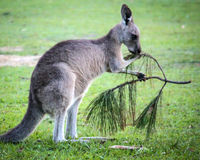 Wallabee Lunch Stock Photo