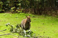Wallabia bicolor. Swamp wallaby eats tree leaves Royalty Free Stock Photography