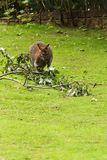 Wallabia bicolor. Swamp wallaby eats tree leaves Royalty Free Stock Images