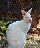 wallabies белые Стоковые Фотографии RF