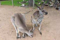 Wallabies в Брисбене, Квинсленде, Австралии Стоковые Фото
