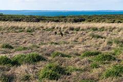 Wallabies в Nobbies в острове Филиппа, Виктории, Австралии Стоковые Изображения