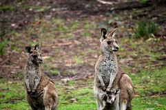 wallabies Obraz Royalty Free