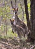 Wallabies affrontati graziosi Fotografie Stock