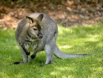 Wallabies Bennet Obraz Royalty Free