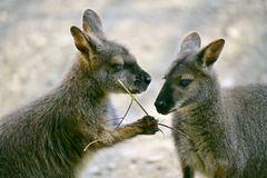 Wallabies of Bennet Royalty Free Stock Photography
