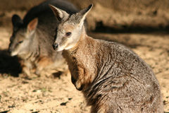 Wallabies are living in a zoo in France Stock Photography