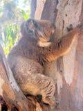 Koala on Tree Trunk. Wallabies are marsupials from the islands of Australia, Tasmania, New Zealand and New Guinea. They are small- to medium-sized kangaroos Royalty Free Stock Photo