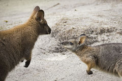 Wallabies meeting Royalty Free Stock Photo