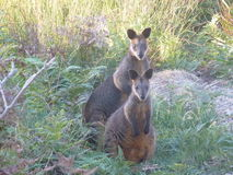 Wallabies. A pair of wallabies. Wallabies are marsupials, pouched mammals. Photo taken in a natural Australian setting with animals looking directly at camera Stock Image