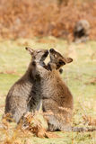 Wallabies play. Two wallabies are playing together, Burny island, Australia stock photos