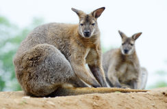 Wallabies Stock Photo