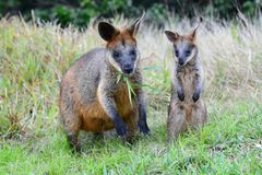 Wallabies into the wild. Cape Byron. New South Wales. Australia stock photos