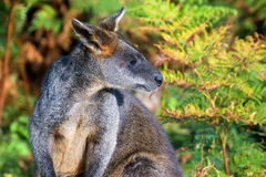 Wallaby à col rouge images stock
