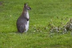 Wallaby à une ferme au-dessus de fond vert Photographie stock libre de droits