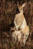 Wallaby ágil Fotografía de archivo libre de regalías