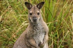 Wallaby étranglé rouge photographie stock