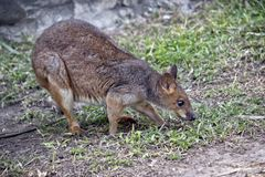 Wallaby łasowania trawa obraz stock
