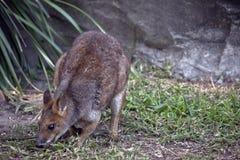 Wallaby łasowania trawa zdjęcia royalty free