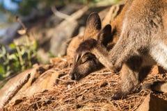 Wallaby που γρατσουνίζει το κεφάλι του με τις ιδιαίτερες προσοχές στο φυσικό υπόβαθρο Στοκ Εικόνες