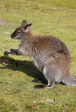 Wallaby που κάθεται στη χλόη Στοκ φωτογραφία με δικαίωμα ελεύθερης χρήσης