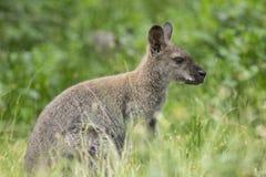 Wallaby Австралии в зеленой траве стоковое фото